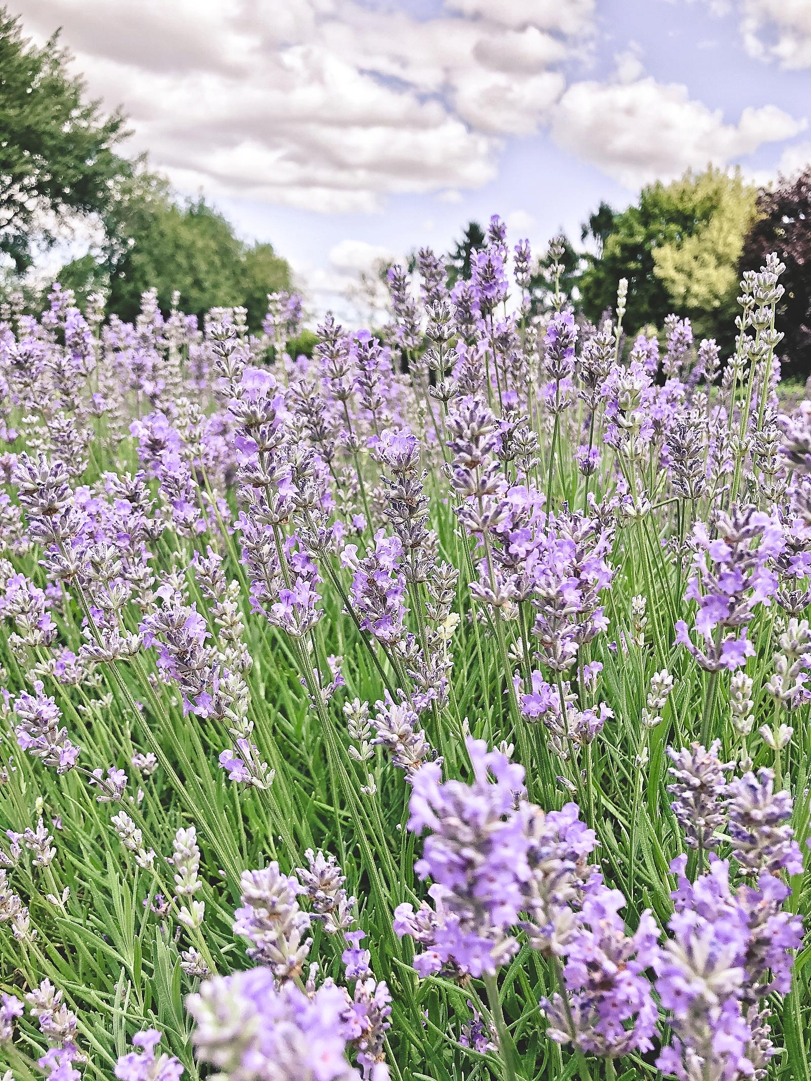 Long Barn Lavender Farm Winchester England