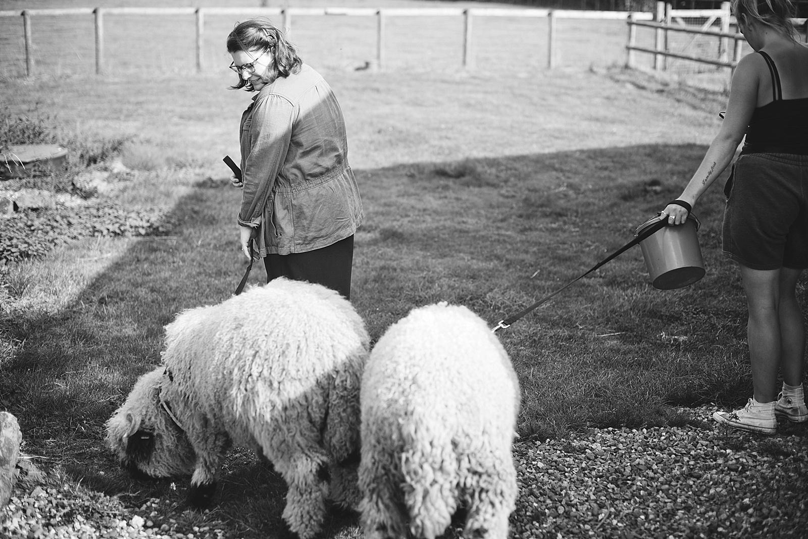 Valais Blacknose Sheep Walk and Cuddle at The Sunshine Farm in Northampton England