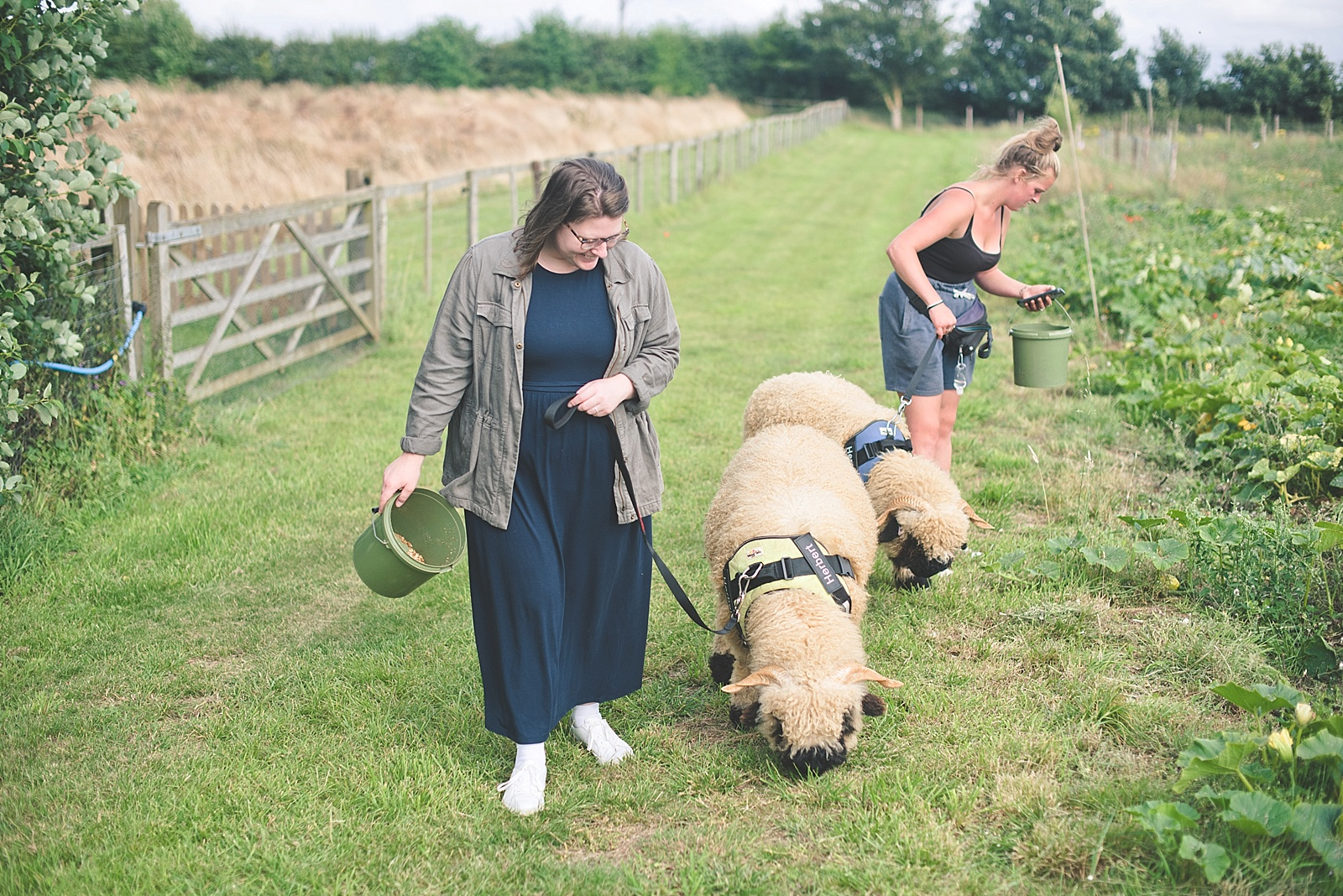 Valais Blacknose Sheep Walking Experience at The Sunshine Farm in Northampton England