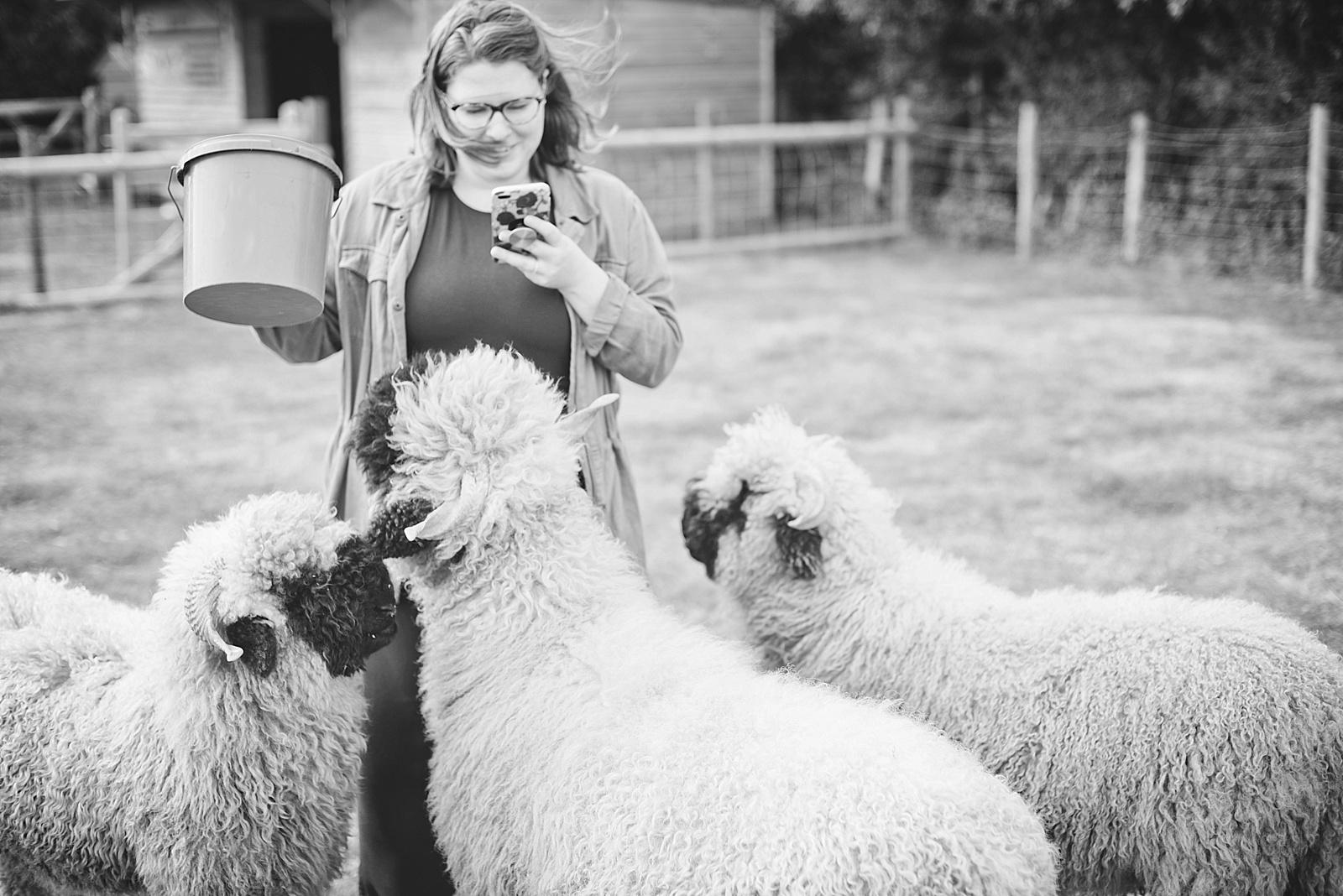 Valais Blacknose Sheep at The Sunshine Farm in Northampton England