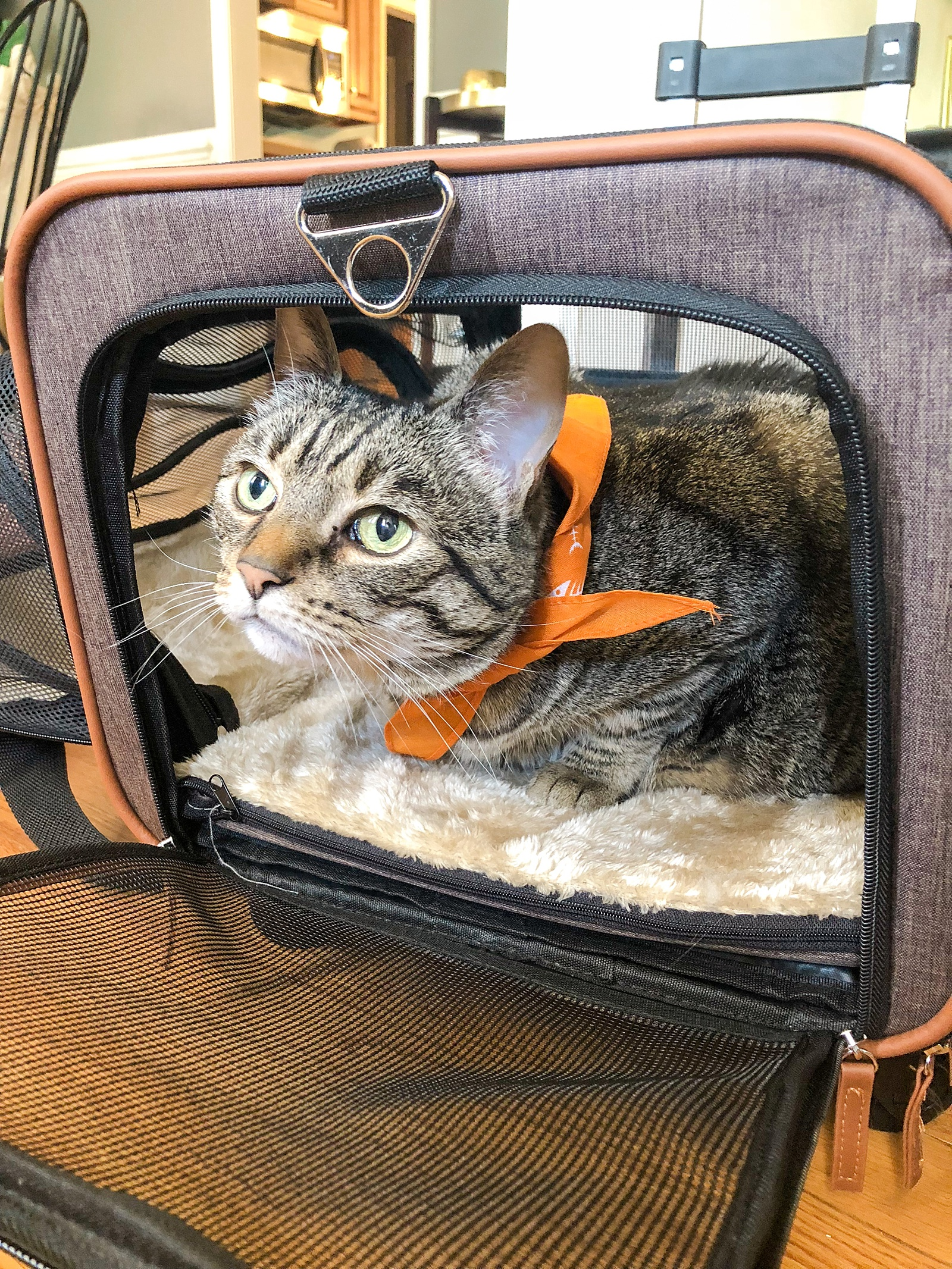 How to Travel with a Cat from the USA to the UK